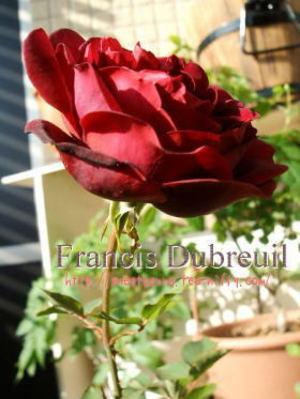 francis3